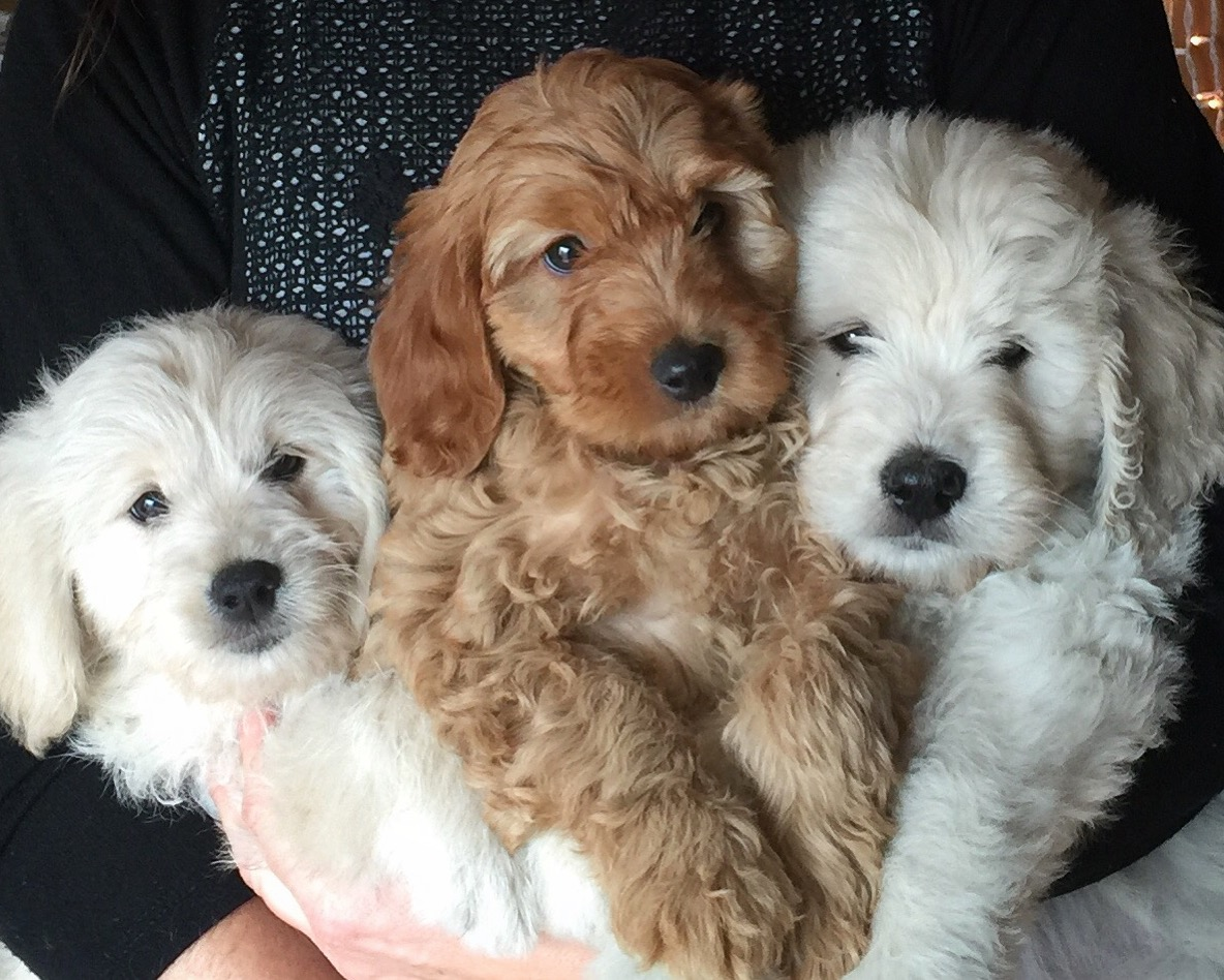 Doodles2Love - Premiere breeder of Goldendoodles